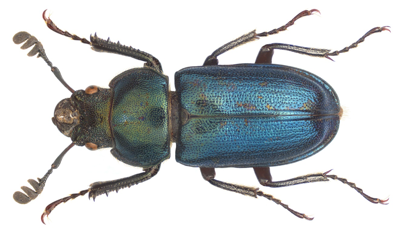 Platycerus Caraboides